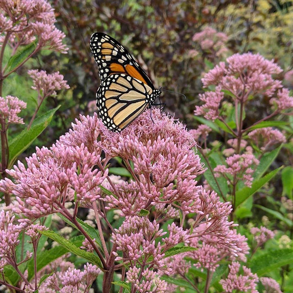 Monarch on Joe Pyue Weed